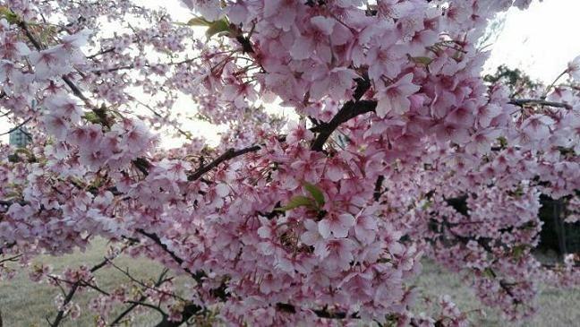 谢总参观日本樱花
